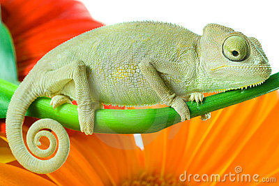 Chameleon. Isolation on white