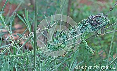 Chameleon in lavender