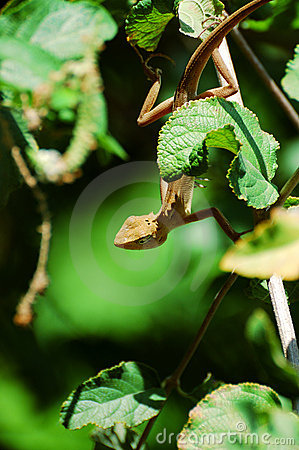 Chameleon lean out of bush