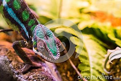 Chameleon between leaves