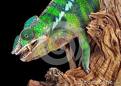 Chameleon munching on cricket