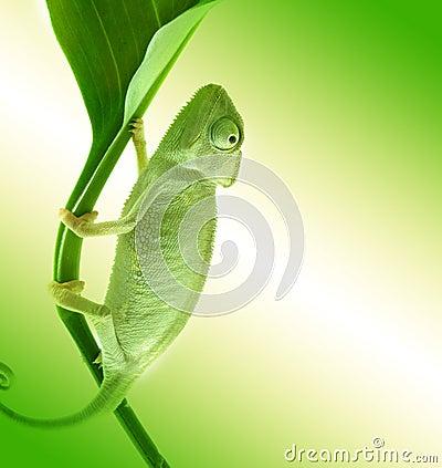 Free Chameleon On Flower. Royalty Free Stock Photos - 11208058