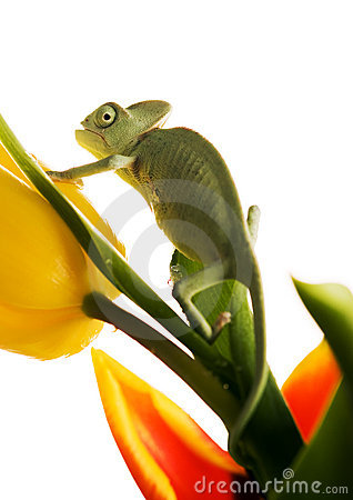Free Chameleon On Tulip Royalty Free Stock Image - 1891276