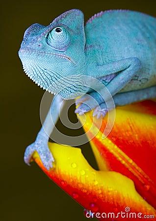 Free Chameleon On Tulip Stock Image - 1891331