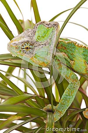 Chameleon on a palm