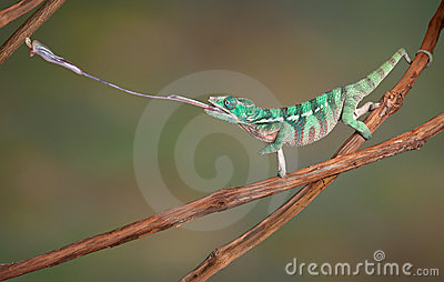 Chameleon shoots out tongue