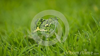 Chameleon in Thick Grass