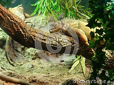 Chameleon on tree trunk