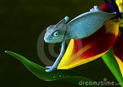 Chameleon on tulip
