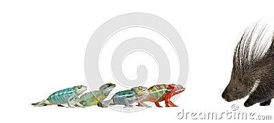 Chameleons and porcupine against white background
