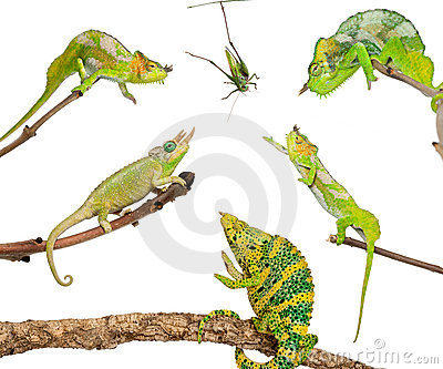 Chameleons reaching for grasshopper