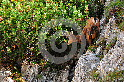Chamois in action