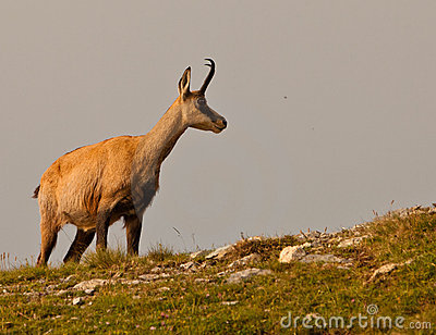 A Chamois on an alpine meadow