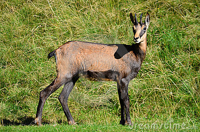 Chamois from Alps mountains