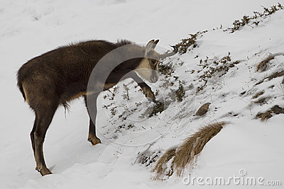 An  chamois deer in the snow