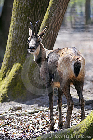 Chamois in the forest