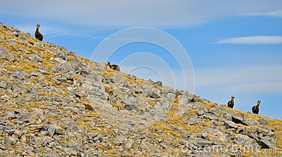 Chamois in high mountain