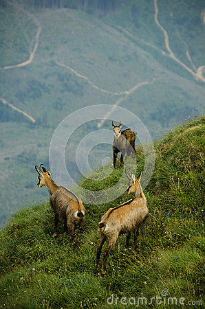 Free Chamois In Piatra Craiului Stock Images - 26051924