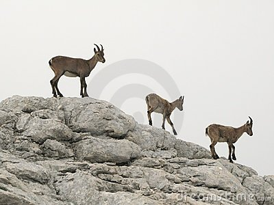 Chamois in Julian Alps