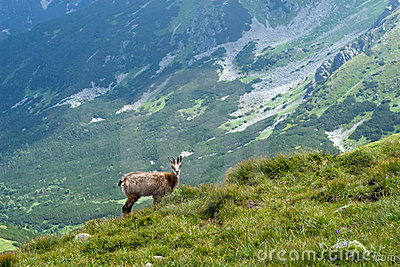 Chamois on the mountain ridge