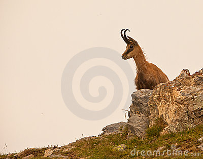 A Chamois on rocks