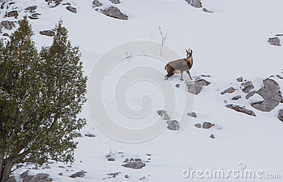 Chamois at a snowed mountain slope
