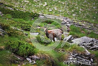Chamois sauvage sur des alpes