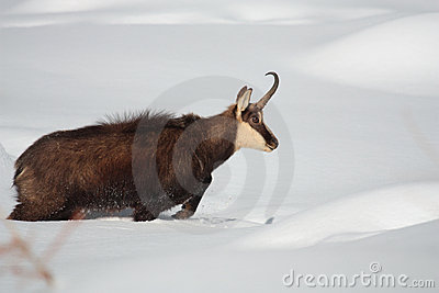 Chamois on the snow