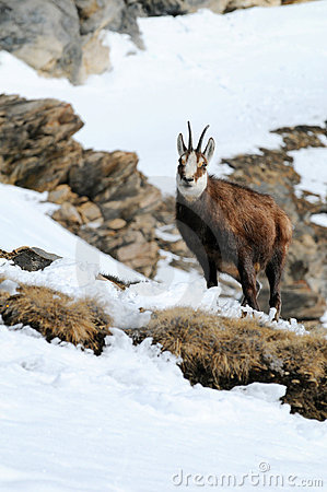 Chamois on snowy mountain