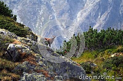 Chamois - Wild Retezat Mountain