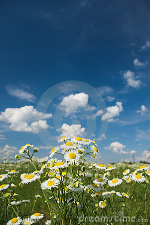 Free Chamomile Royalty Free Stock Photo - 10210355