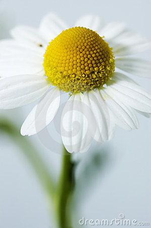 Free Chamomile Royalty Free Stock Photos - 13796718