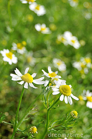 Free Chamomile Royalty Free Stock Photography - 14622377