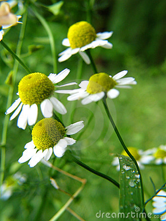 Free Chamomile Royalty Free Stock Images - 8030749