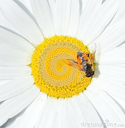 Free Chamomile And A Bee Close Up. Camomile Flower Head. Summer Floral Background. Stock Photos - 116239783