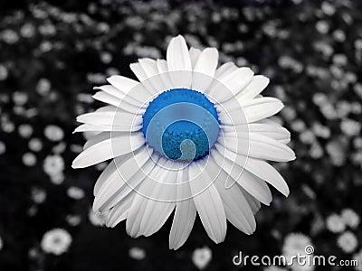 Chamomile blue