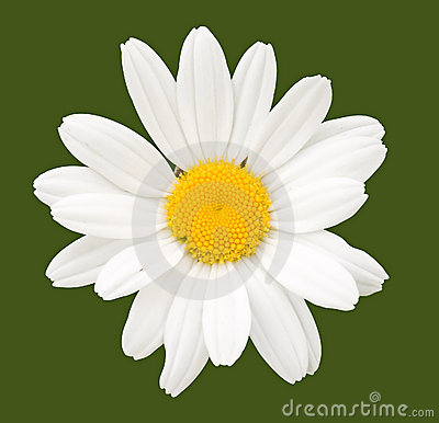 Free Chamomile Flower Royalty Free Stock Photography - 4436757