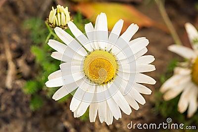 Chamomile flower close up