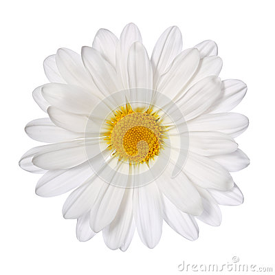 Free Chamomile Flower Isolated On White. Daisy. Stock Photos - 39885563