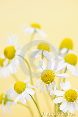 Chamomile flowers close up