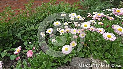 Chamomile kwiatu kiwanie w wiatrze Piękny kwiat w ogródzie huśta się w wiatrze zbiory wideo