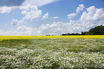 Chamomile and rapeseed in the field
