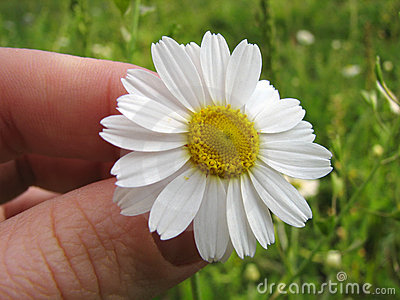 Chamomile wildflower in human hand