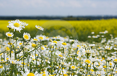 Chamomiles in the rapeseed field