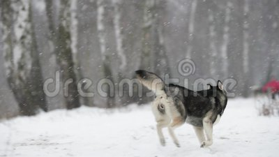 Champ de Husky Dog Running Outdoor In Milou de Sibérien au jour d'hiver Crabot de sourire Mouvement lent, ralenti clips vidéos