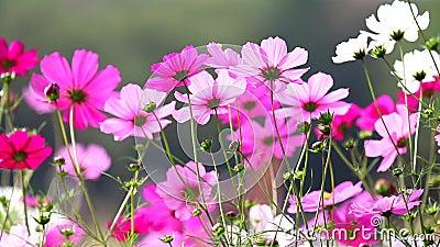 champ des fleurs roses hd 1080p clips vid os vid o du ciel nature 38315242. Black Bedroom Furniture Sets. Home Design Ideas