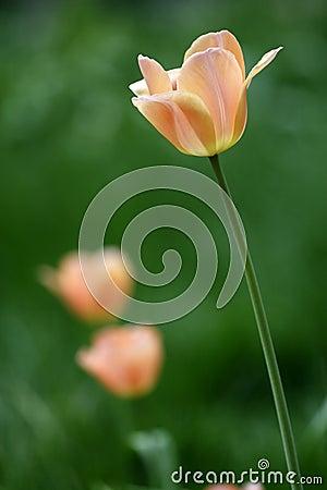 Champagne color tulip