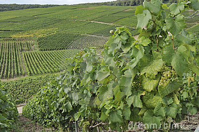 Champagne hilly vineyard #4, epernay