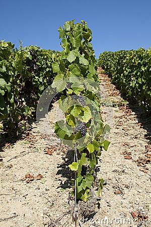 Champaign vineyards
