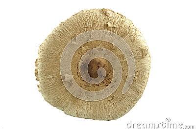 Champignon de parasol